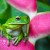 Image of green tree frog sitting on heliconia flower, Cairns, North Queensland, Australia