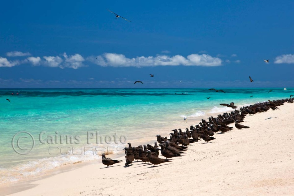 Image of sea birds on Michaelmas Cay, Great Barrier Reef, Cairns, North Queensland, Australia