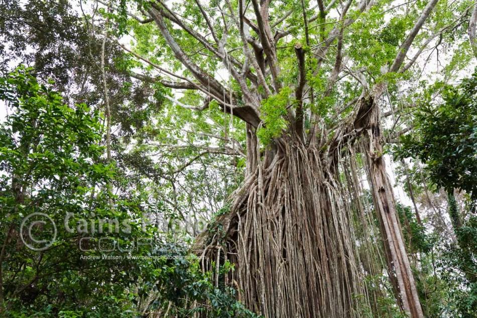 "Image of giant strangler fig called the ""Curtin Fig Tree"", Yungaburra, Atherton Tablelands, North Queensland, Australia"
