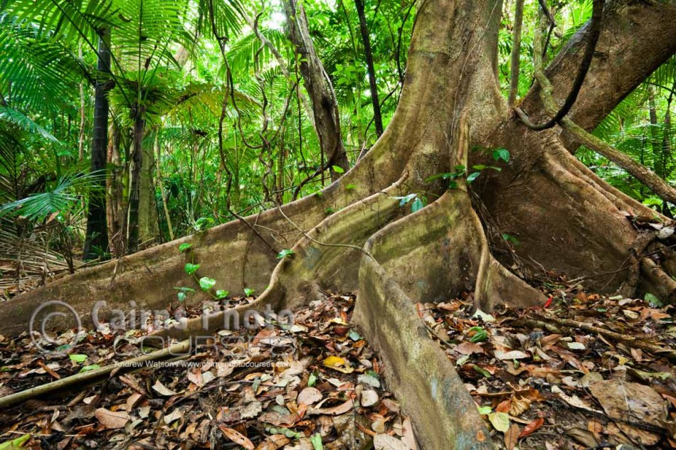 Image of rainforest buttress roots, Daintree National Park, North Queensland, Australia
