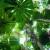 Image of Licuala palm forest, Cape Tribulation, Daintree National Park, North Queensland, Australia